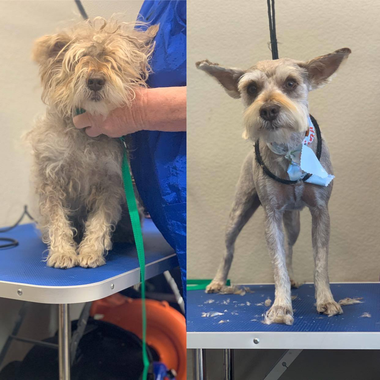 dog grooming - before / after
