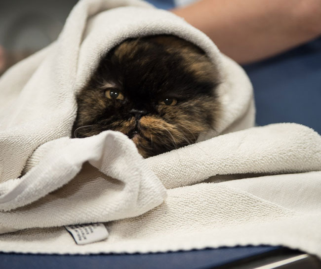 What Should a Healing Cat Spay Incision Look Like?