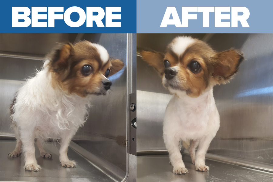 dog grooming before after